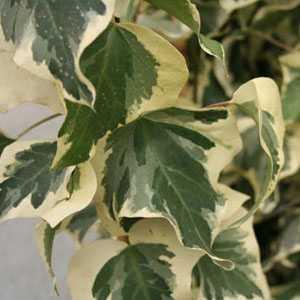 Hedera 'Gloire De Marengo' Climbing Ivy
