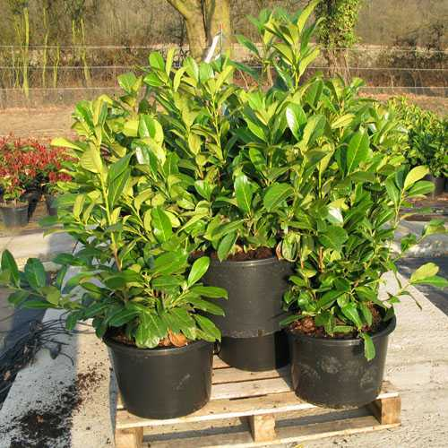 Laurel Hedging (Common or Cherry Laurel ) Prunus Laur.  Rotundifolia 1.5mtr 25ltr x 10 Plants
