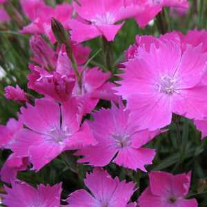 Dianthus Kahori 2Ltr