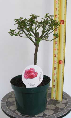 Rose Patio/1/4 Standard 'Glowing Pink'
