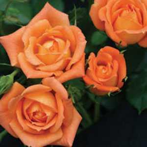 Shine On (Dictalent) 1/2 Standard Rose