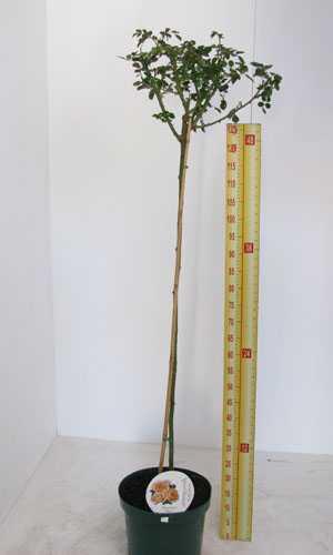 Rose Full Standard 'Birthday Rose' Floribunda Rose 10ltr Pot