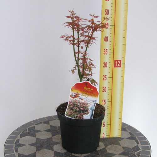 Acer Palmatum Wilson's Pink Dwarf ( Japanese Maple) 3 Litre Pot