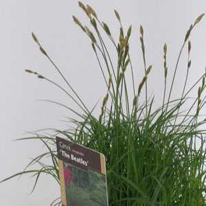 Carex 'The Beatles' (Sedge) 2 Litre Pot