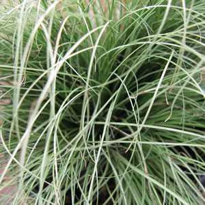 Carex 'Frosted Curls'   (Sedge) 2 Litre Pot