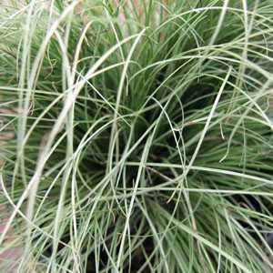 Carex 'Frosted Curls'   (Sedge) 2 Litre Pot