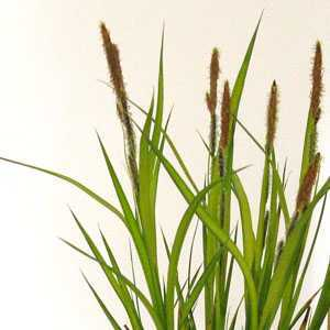 Carex 'Aurea' (Sedge) 2 Litre Pot