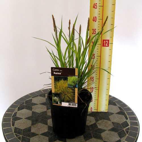 Carex 'Aurea' (Sedge) 2 Litre Pot