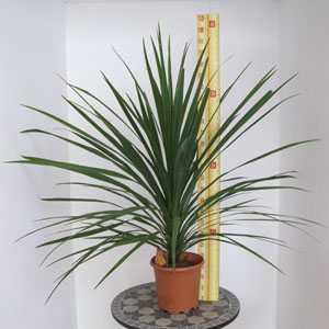 Cordyline Australis Verde (Cabbage Tree) 5 Litre Pot