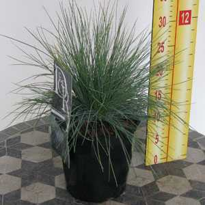Festuca Glauca Elijah Blue Ornamental Grass 2 Litre Pot