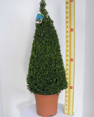 Buxus Sempervirens Pyramid/Cone (Box Hedge/Topiary Plant) 1mtr Height