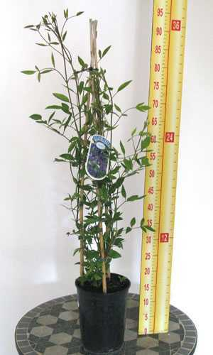 Clematis 'Aphrodite' Japanese Large Flowered Variety (Climber) 3 Litre Pot
