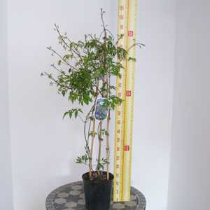 Clematis Macropetala 'Jan Lindmark' 3 Litre Pot