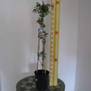 Clematis 'Alpina - Foxy' (Climber) 3 Litre Pot
