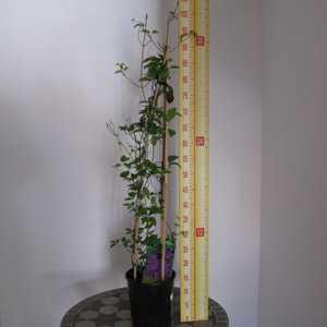 Clematis 'Ashra' (Climber) 3 Litre Pot