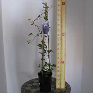 Clematis 'Jackmanii Superba' (Climber) 3 Litre Pot