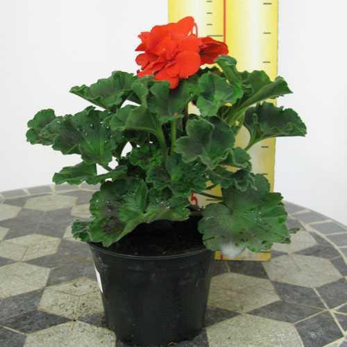 Geranium Potted Red 10.5cm Pot (Summer Bedding) 15 Per Box