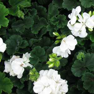 Geranium Potted White 10.5cm Pot (Summer Bedding) Box of 15 Plants