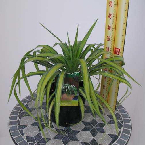 Yucca Recurvifolia Banana Split (Pendulous Yucca)