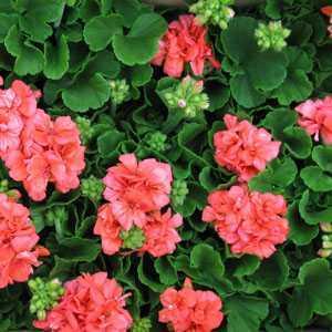 Geranium Potted Orange/Red 10.5cm Pot (Summer Bedding) Box of 15 Plants