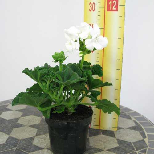 Geranium Potted White (Summer Bedding) 10.5cm Pot