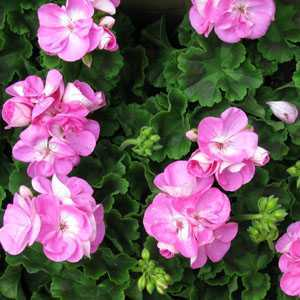 Geranium Potted  (Summer Bedding) Bright Pink 10.5cm Pot