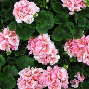 Geranium Potted Light Pink (Summer Bedding) 10.5cm Pot