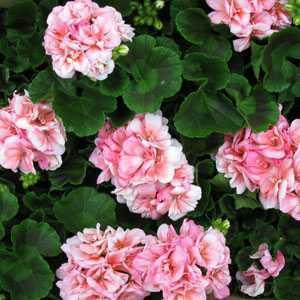 Geranium Potted Light Pink (Summer Bedding) 10.5cm Pot