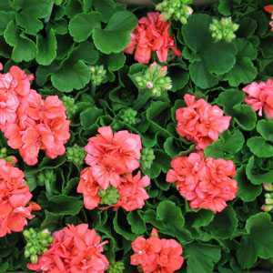 Geranium Potted Orange/Salmon  (Summer Bedding) 10.5cm pot