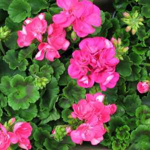 Geranium Potted Cerise Pink (Summer Bedding) 10.5cm Pot Box of 15 Plants
