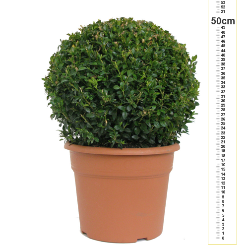 Buxus Sempervirens Ball (Box Hedge Ball/Topiary Ball) 30cm 10ltr