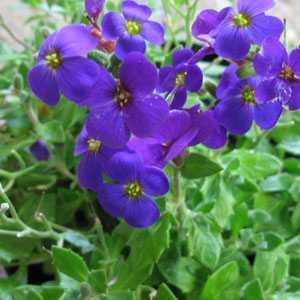 Aubrieta/Aubretia Deep Purple 1Ltr Pot