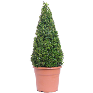 Buxus Sempervirens Pyramid/Cone (Box Hedge/Topiary Plant) 7.5ltr