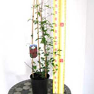 Clematis 'Allanah' (Climber) 3 Litre Pot