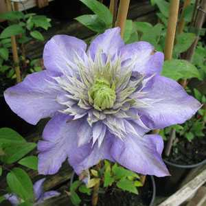 Clematis Multi Blue (Climber)