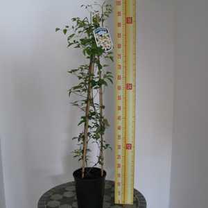 Clematis Huldine (Climber) 3 Litre Pot