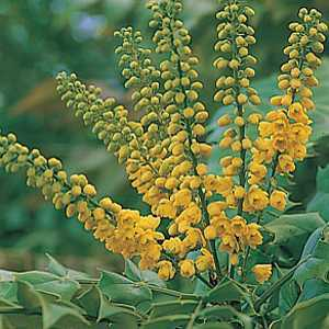 Mahonia Media Winter Sun 3Ltr