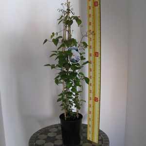 Clematis Chalcedony (Climber) 3 Litre Pot