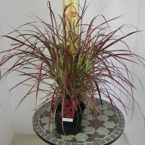 Buy cheap ornamental grasses fireworks grasses for sale for Variegated ornamental grass varieties