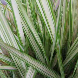 Phalaris arundinacea var picta feesey reed canary grass for White ornamental grass