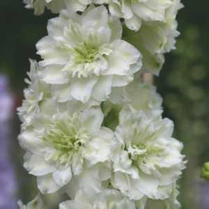 Delphinium galahad group summer splendour white larkspur 2 3ltr mightylinksfo