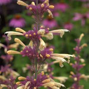 Agastache 'Summer Glow' (Hummingbird Mint) 3Ltr