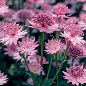 Astrantia Major Pre-Packed Perennial 1 Per Pack
