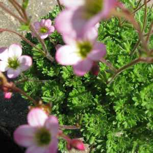 Saxifraga Rose Pixie 1Ltr