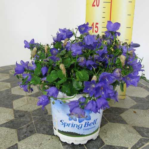 Campanula Spring Bell 13cm Pot