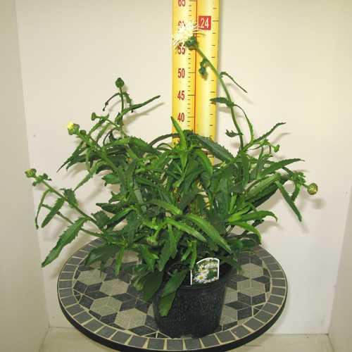 Leucanthemum Beaute Nivelloise 3Ltr
