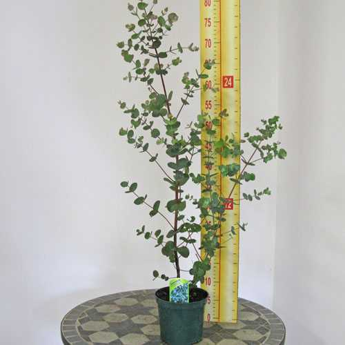 Eucalyptus Gunnii Cider Gum Silver Drop 1ltr