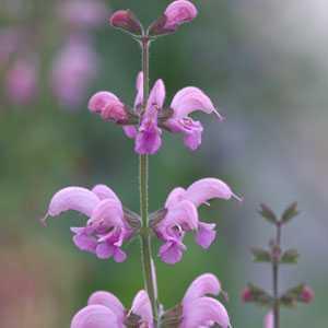 Salvia Pratensis Eveline (Meadow Sage) 3 Ltr