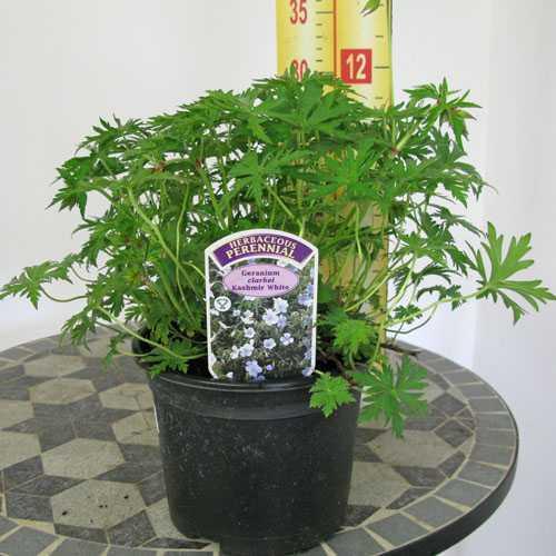 Geranium Clarkei Kashmir White 2-3Ltr