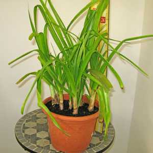 Crinum Powellii (Swamp Lily) 7Ltr